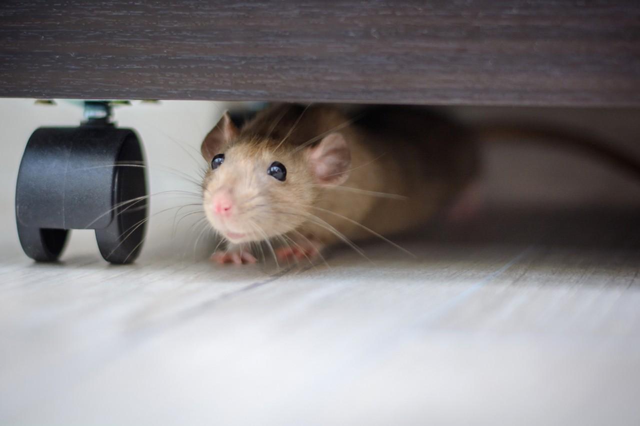 Cosa fare se trovo un topo a casa? 1